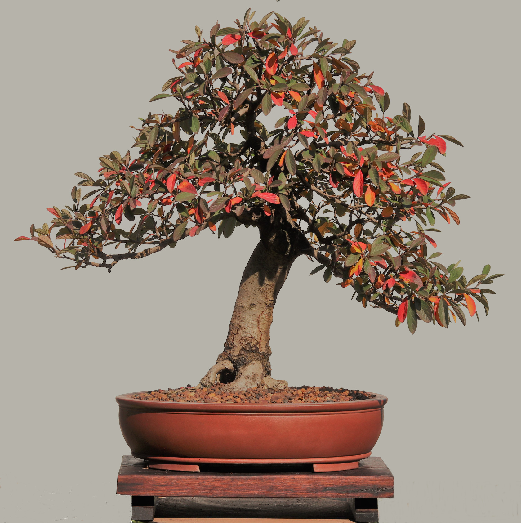 Cotoneaster1