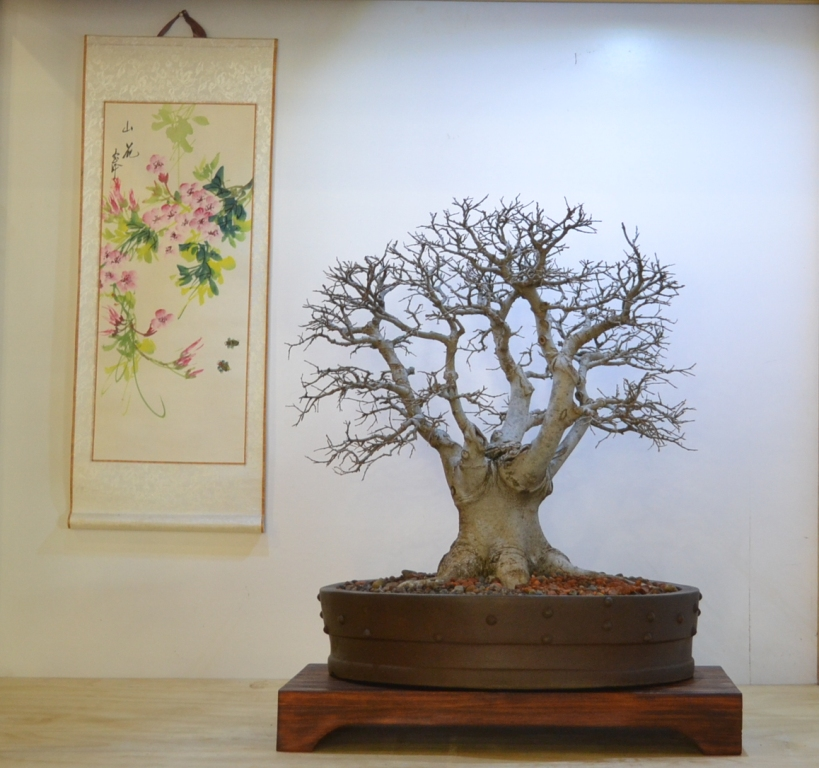 White Stinkwood Bonsai - Celtis